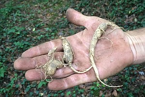 National Parks Look To Lock Out Wild Ginseng Diggers
