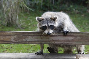 Drugged Marshmallows Can Keep Urban Raccoons From Spreadi...