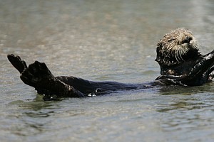 More Than Just Cute, Sea Otters Are Superheroes Of The Marsh