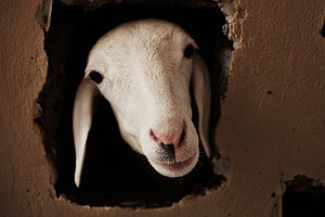 Is This A Goat Or A Sheep? It's Harder Than You Think