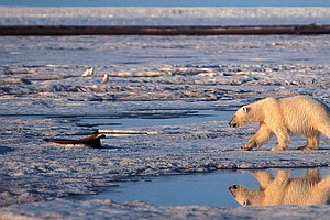 Obama Proposes New Protections For Arctic National Wildli...