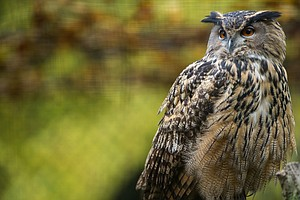 An Owl Is Attacking And Injuring Residents Of A Netherlands Town