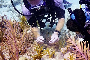 Scientists Catch Up On The Sex Life Of Coral To Help Reef...