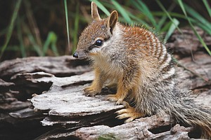 How To Feed A Numbat: Zoo Cookery Aids Endangered Species