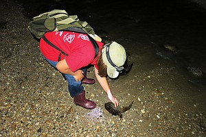 It's Spawning Season: Are Horseshoe Crabs Down For the Co...