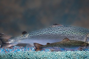 Genetically Modified Salmon: Coming To A River Near You?
