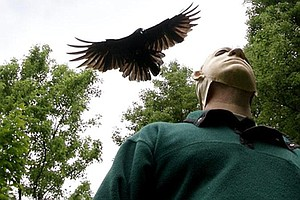 'They Will Strafe You,' Bird Expert Says Of Seattle's Dive-Bombing Crows