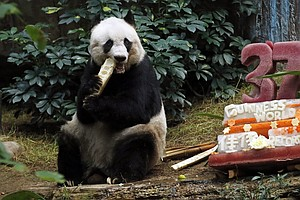 Giant Panda Jia Jia Celebrates 37th Birthday And 2 Guinness World Records