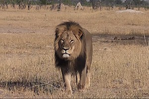 Investigation Underway Into Killing Of Cecil, Zimbabwe's ...