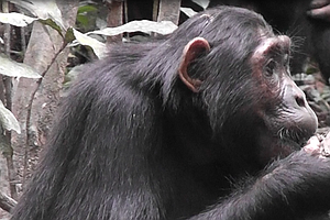 Humans Aren't The Only Ones To Go Ape Over Diets: Chimps Detox, Too