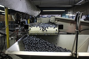 How New Jersey Tamed The Wild Blueberry For Global Produc...