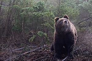 Drones Increase Heart Rates Of Wild Bears. Too Much Stress?
