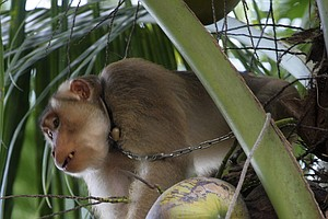 Monkeys Pick Coconuts In Thailand. Are They Abused Or Working Animals?