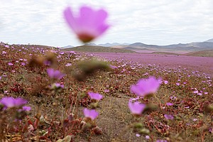 Chilean Desert, One Of The Driest Places On Earth, Is Awash In Flowers