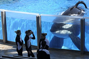 SeaWorld Says Health Of Tilikum The Killer Whale Is Declining