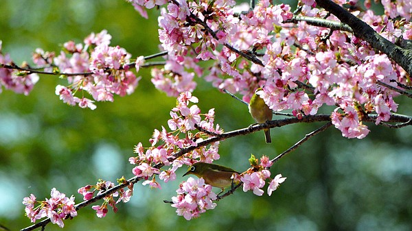 Japanese white-eyes perch on the branch of a bloomed cher...