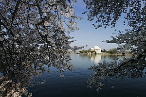 With Cherry Blossoms In Bloom, D.C. Issues Reminder: No D...