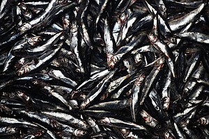 Tiny Forage Fish At Bottom Of Marine Food Web Get New Protections