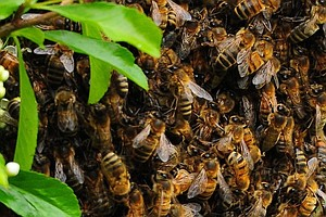 Spring Is Swarm Season, When Beekeepers Are On The Hunt F...