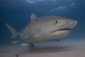 A Marine Ecologist On Swimming With Sharks And What 'Jaws...