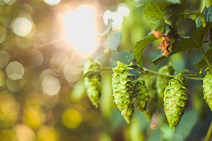 Hop Growers Cheer Craft Brewers For Saving An Ailing Indu...