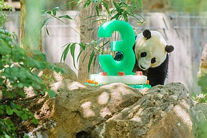 Bye-Bye, Bao Bao: Popular Giant Panda Heads To China This...