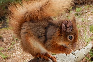 Leprosy Surprise: It's Hiding Out In British Squirrels