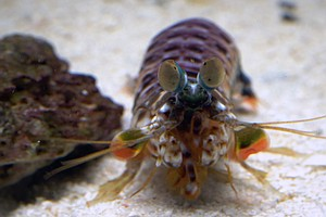 WATCH: Mantis Shrimp's Incredible Eyesight Yields Clues F...