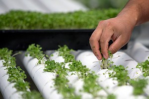 Some Growers Say Organic Label Will Be Watered Down If It Extends To Hydroponics