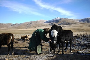 How Your Cashmere Sweater Is Decimating Mongolia's Grassl...