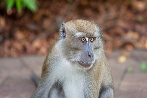 Say, What? Monkey Mouths And Throats Are Equipped For Speech