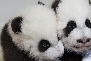 Meet Lun Lun's Elegant And Happy (Panda) Daughters