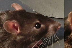 Tickled Pink: Scientists Have Determined What A Happy Rat Looks Like