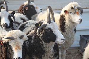 Farmers On Mission To Return 'Old Testament Sheep' To Holy Land