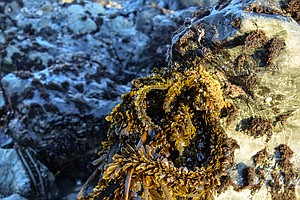 Bountiful Beach Buffet: Fresh Seaweed Is Making Waves Among Foragers