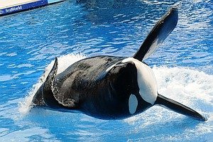 Tilikum, SeaWorld's Famed Orca And Subject Of 'Blackfish,' Dies