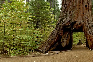 Iconic Sequoia 'Tunnel Tree' Brought Down By California Storm