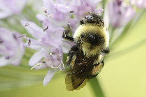 U.S. Puts Bumblebee On The Endangered Species List For 1st Time