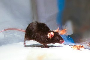 Flipping A Switch In The Brain Turns Lab Rodents Into Killer Mice