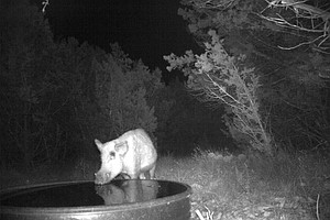 Scientists Get Down And Dirty With DNA To Track Wild Pigs