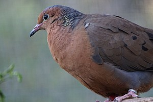 Move Over Sheep, Doves Are Returning Home To Tiny Island Of Socorro