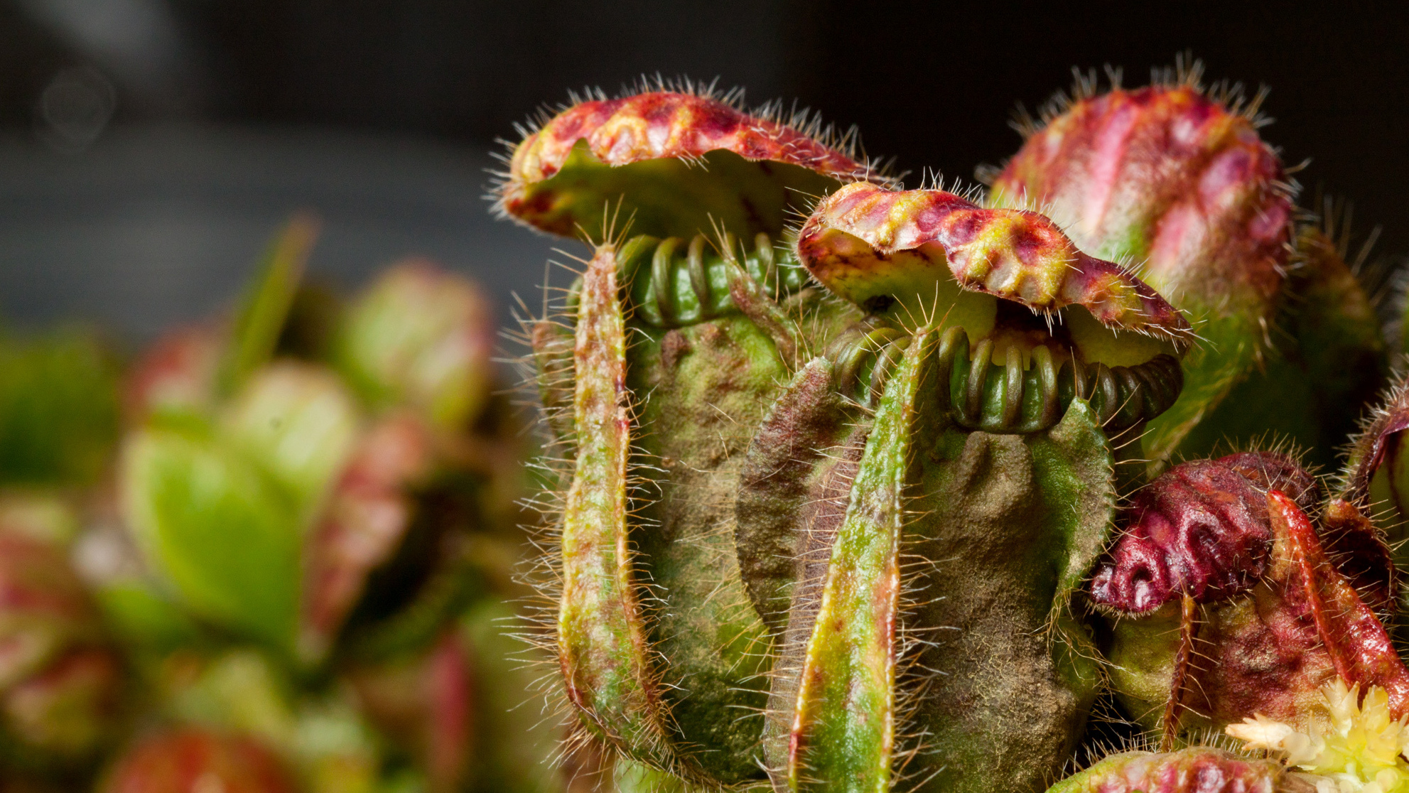 a discussion on the evolution of carnivorous plants