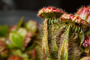 Carnivorous Plants Around The Globe Use Similar Deadly Tricks