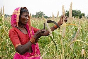 A Forgotten Group Of Grains Might Help Indian Farmers – A...