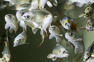 In Studying Sick Fish, Scientists Trace History Of Fevers