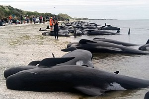 Hundreds Of Whales Die Stranded On A Remote New Zealand Beach