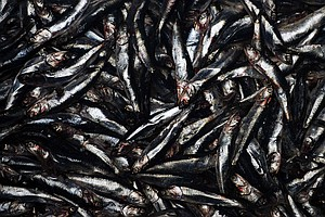90 Percent Of Fish We Use for Fishmeal Could Be Used To Feed Humans Instead