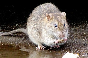 Rat-Related Disease Kills 1, Bronx Residents Angered By Infestation