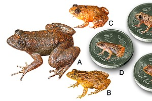 Behold: 4 New Species Of Tiny Frogs Smaller Than A Fingernail