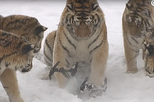 WATCH: In The War Between Tigers And Drone, Chalk One Up ...